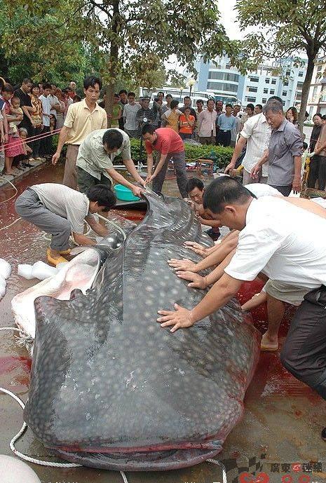 Ikan Hius Paus Ini Diberitakan Sebagai Ikan Lele Raksasa
