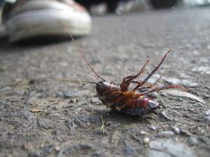 honey obama cockroach hold ill