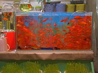 Eid-e-Nowruz goldfish
