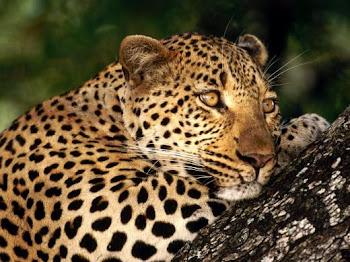 Leopardoo..