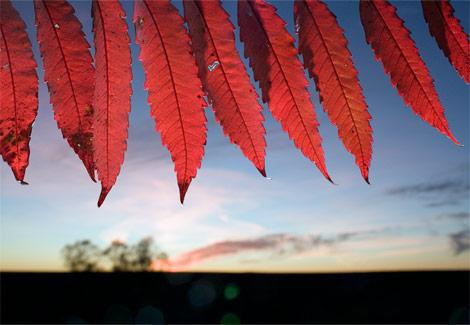 [red-leaves-richardson-1053949-ga.jpg]