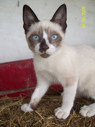 """PLATA"", MI  GATA SEYCHELLOIS"