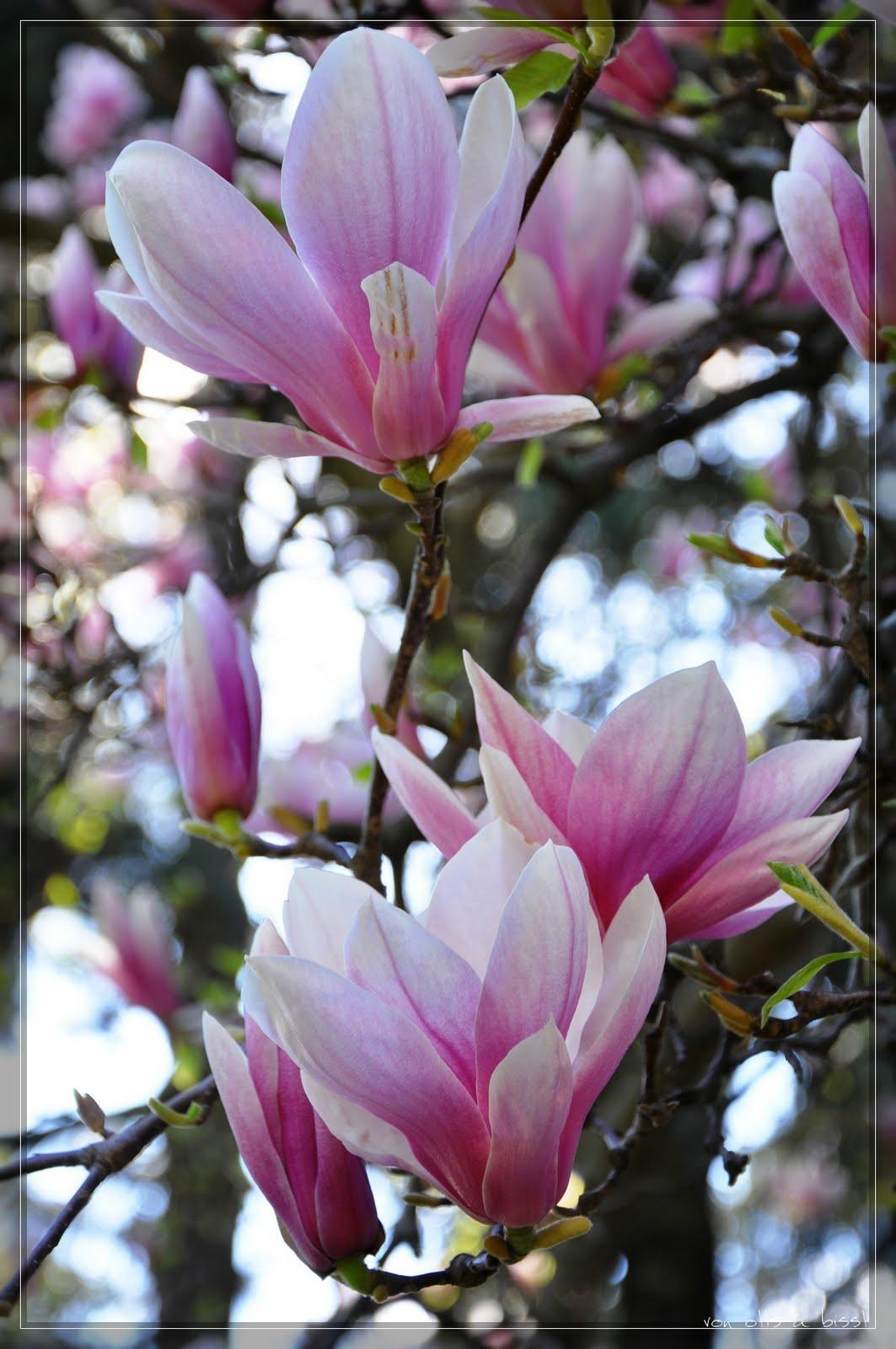 magnolien in meran. Black Bedroom Furniture Sets. Home Design Ideas