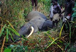 Elephants poaching
