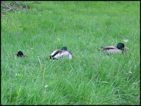 Ducks nap in the rain