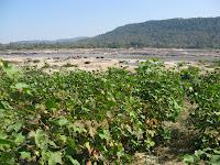 organic cotton growing along the Mekong River