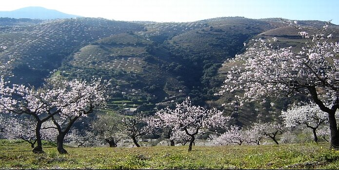 Almond blossoms on the southern slopes of the Sierra de Contraviesa with the Cerrajón de Murtas in de the background - foto: casa rural El Paraje