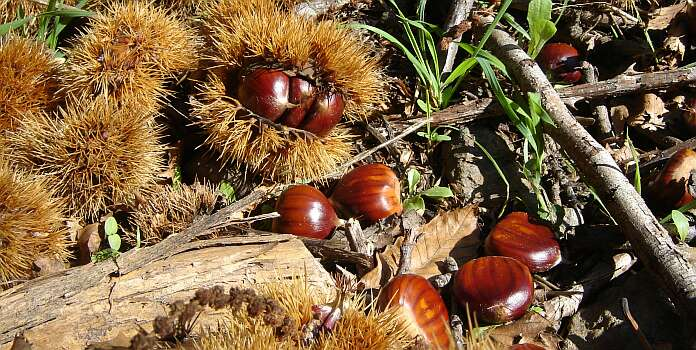 Castanea sativa or sweet chestnut - foto: casa rural El Paraje
