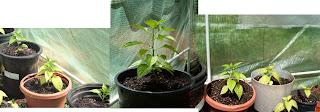 bhut jolokia, plants