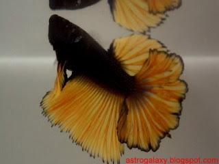 Astro galaxy my betta splendens for Rare types of betta fish