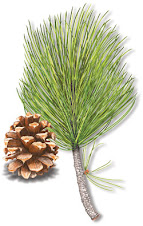 Tree of the Year : Lodgepole Pine