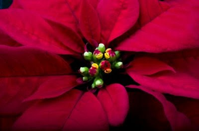 symbols of christmas NAMC montessori curriculum activities poinsettia