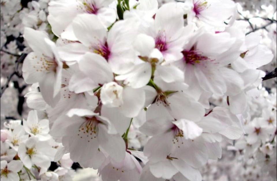 el jardín japonés: seminario intensivo en kyoto ~ jardinería y