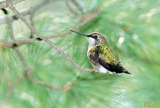 I <3 Hummingbirds