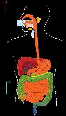 Anatomi-Diagram sistem pencernaan manusia