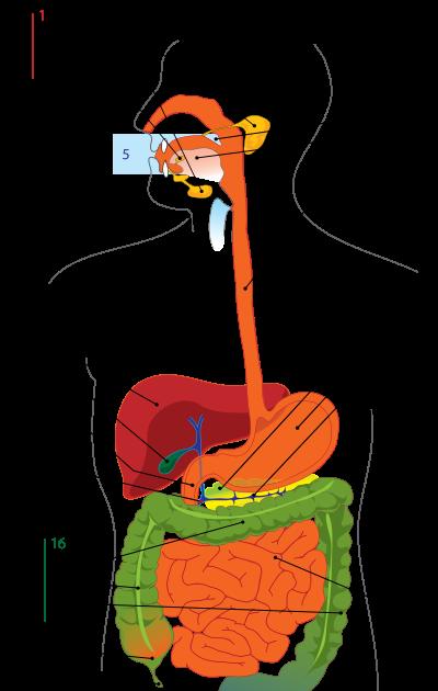 Anatomi Diagram sistem pencernaan manusia Contoh Artikel