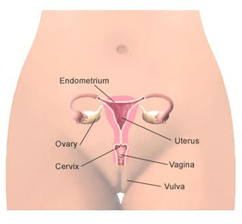 Female G-Spot Reproductive System