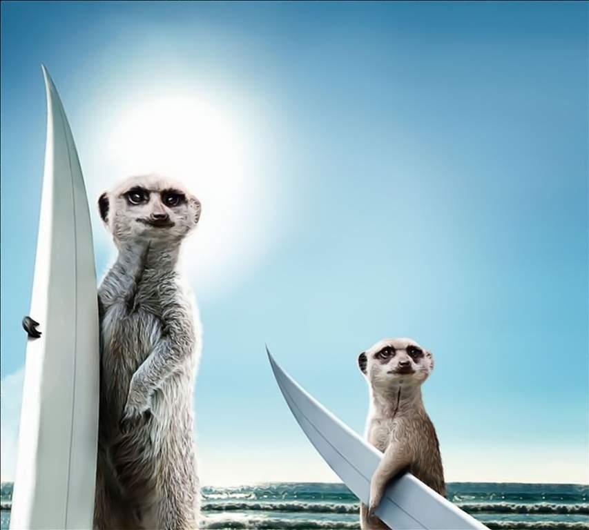 Funny meerkat pictures - photo#20