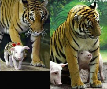 [tigre-cerdo3.thumbnail]