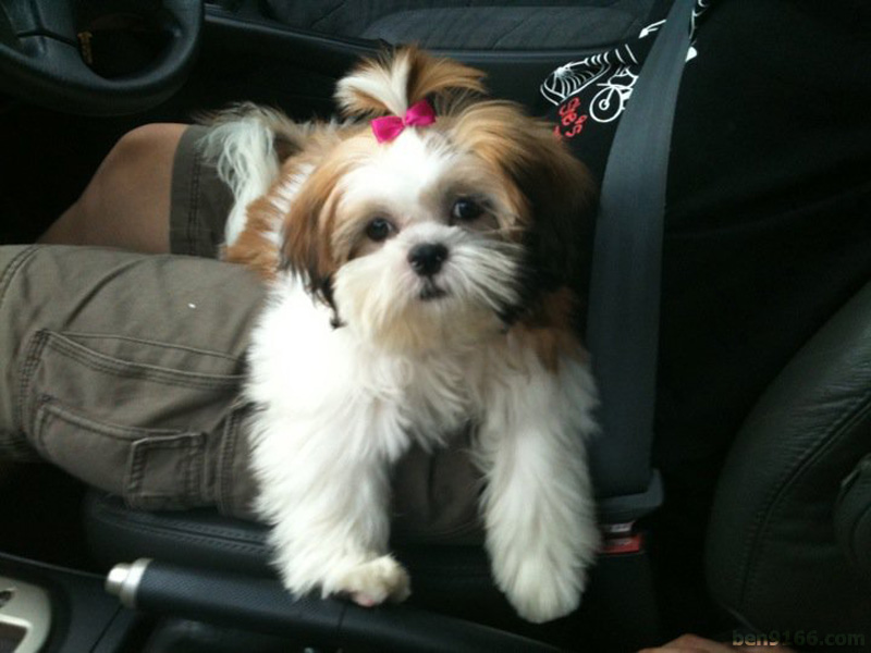 Pics Of Shih Tzu Groomed In Summer Cuts Hairstyle Gallery