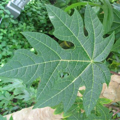 نبات البابايا Carica_papaya_-_Papaya