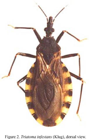 kissing bugs pictures. example of a kissing bug.