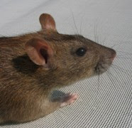 Agouti