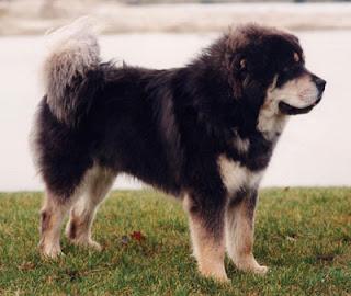 Tibetan Mastiff dog.