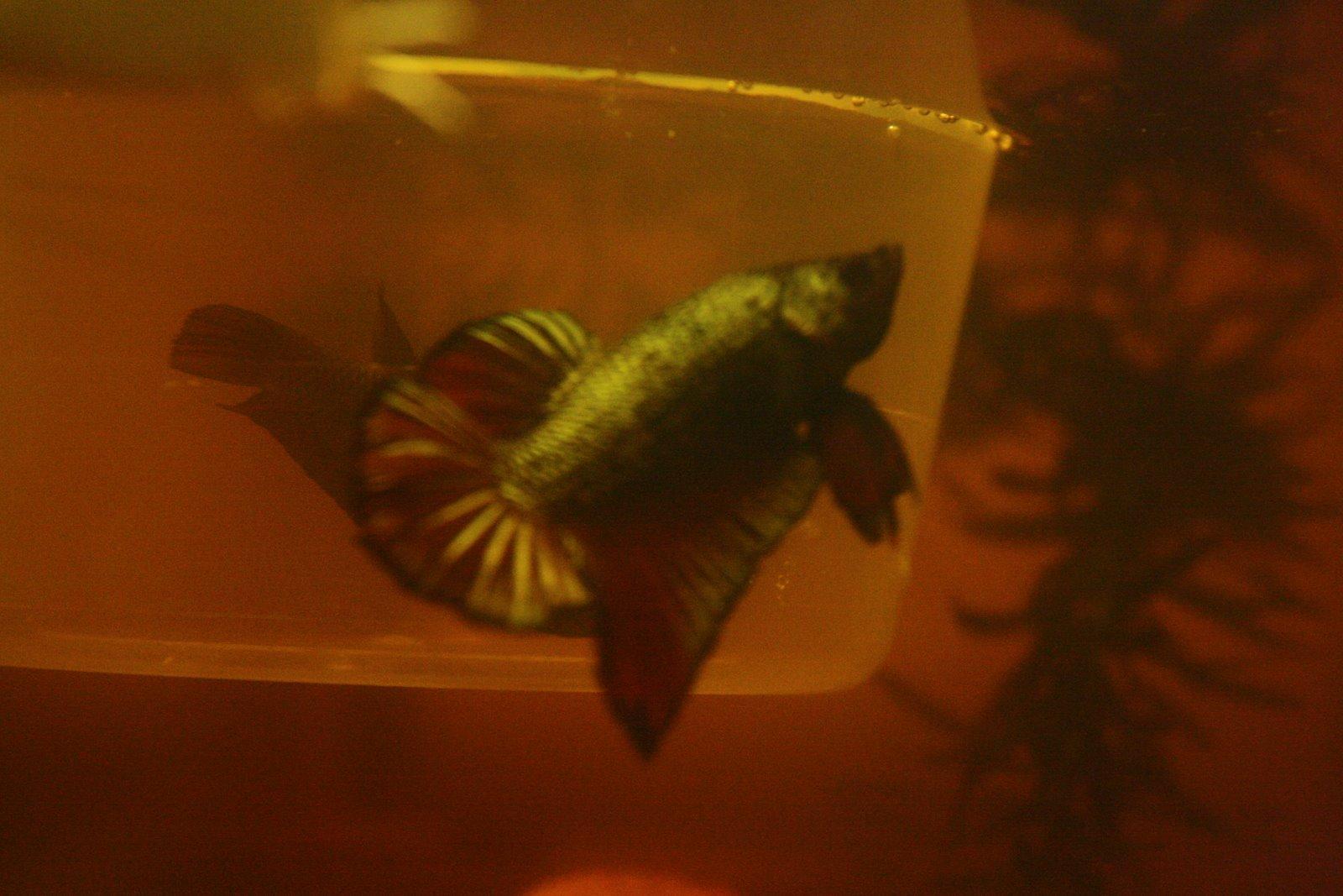 how to make betta fish happy