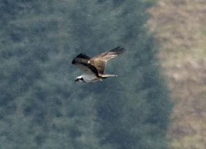 Osprey flying in the Tweed Valley