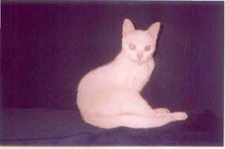 """Trixie"" in 2003, albino /siameese with blue eyes."