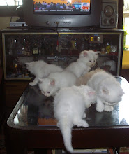 "6 kittens of ""queen cat Matahari"" on the house ""coffee-table"""