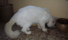"The professional breeders ""stud cat"", a fine specimen  with more of """"Turkish angora Genes""."