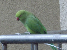 "A wild rose-ringed parakeet outside ""Vaibhav apartments"" in Mumbai."