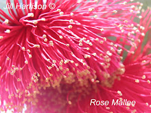 Rose Mallee