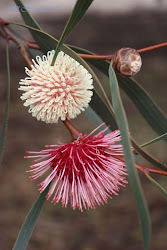 Wildflowers of Western Australia
