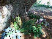 Hostas under old fir tree