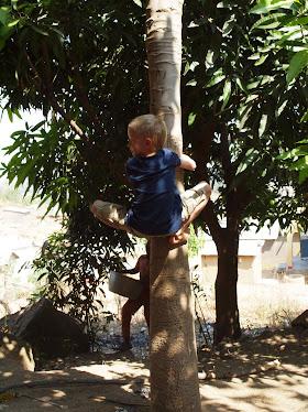 Bjørn på tur opp i et papaya-tre.