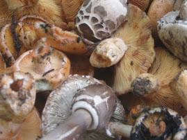 I funghi della Sila...
