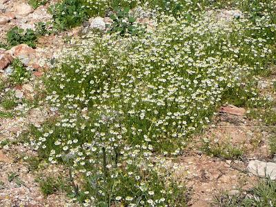 Chrysanthemum-cinerariaefolium
