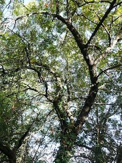 sorbo albero antico
