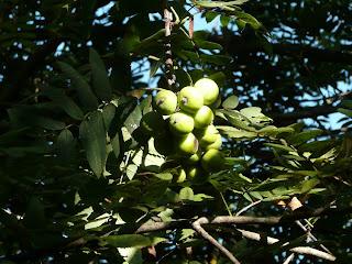 sorbole frutti sorbo acerbi