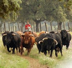 El toro de lidia FUENTE DE RIQUEZA