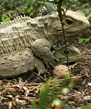 tuatara new zealand living fossil