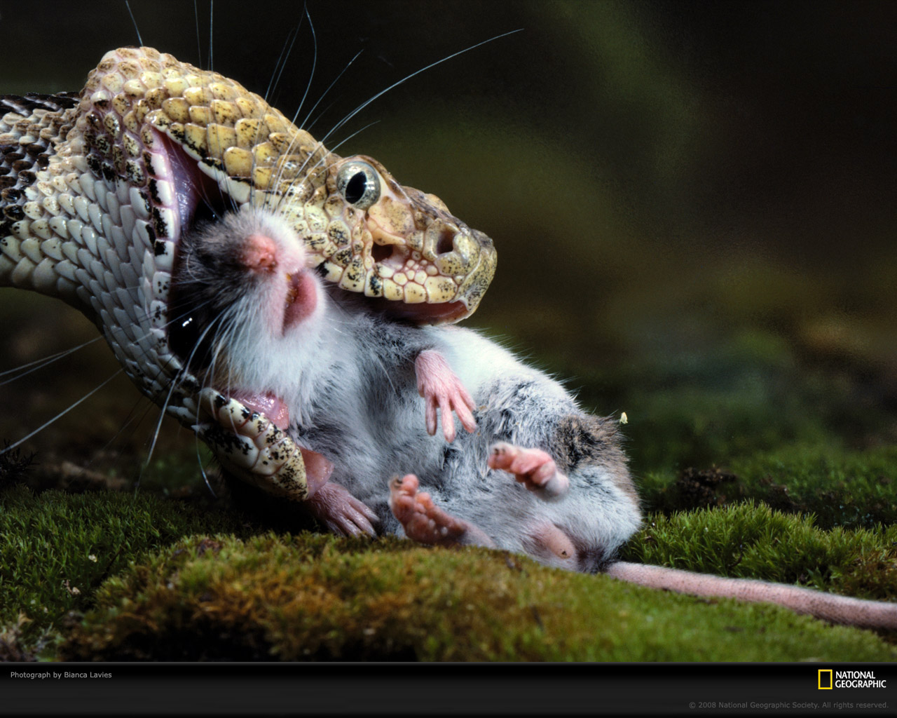 Best Snake Eat Mouse Wallpapers