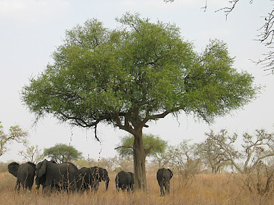 acacia trees (click to enlarge)