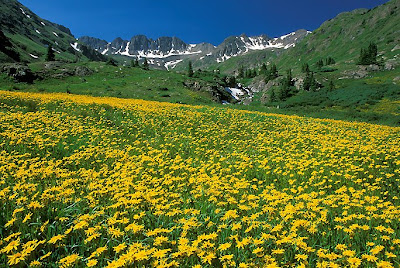 yellow wildflowers (click to enlarge)