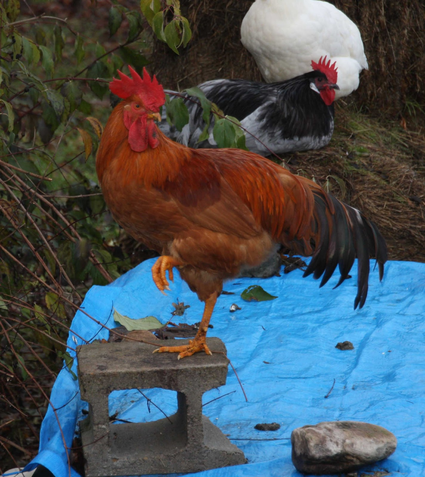 q u0026 a why doesn u0027t my 6 month old rooster crow community chickens