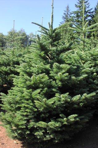 Ponderosa Pine Christmas Tree