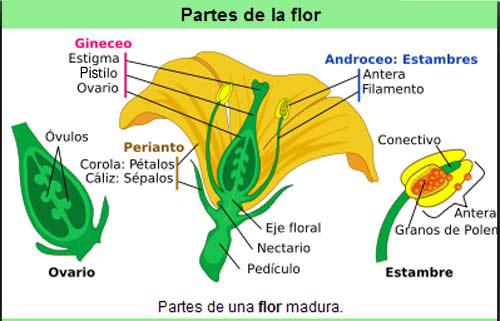 Partes de la flor para niños - Imagui